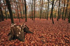 Beech Wood in autumn Royalty Free Stock Photography