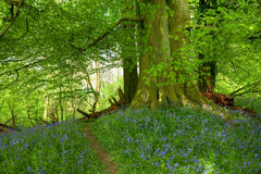 Beech wood with bluebells Stock Photography