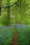 Beech wood with bluebells Stock Photo
