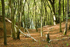 Beech wood, Eifel National Park, Germany royalty free stock images