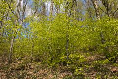 Beech wood with green leaves in the spring season. Photo of beech wood with green leaves in the spring season in Italy, Europe Stock Photography