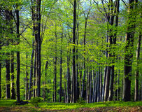 Beech wood spring Stock Photo