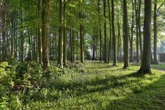 Beech wood Stock Image