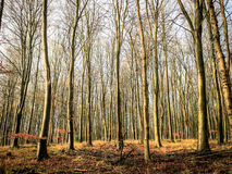 Beech woodland Stock Photography