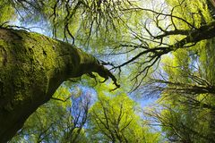 Beech Woodland canopy in springtime royalty free stock photo