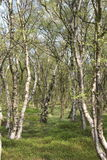 Beech Woodland. A springtime view into an open beech woodland with silver white barked young trees Stock Photography