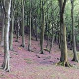 Beech woodland on a steep slope with red forest floor. In yorkshire england Stock Photo