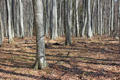 Beech woods Royalty Free Stock Image