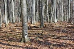 Beech woods Royalty Free Stock Image