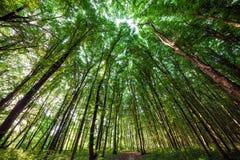 Beechen lange groene bomen in de lentebos Stock Afbeelding