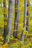 Beechen sylvatica L van bomenfagus In de herfst Stock Fotografie
