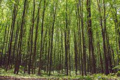 Beechen tall green trees in a forest Stock Photos