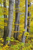 Beechen trees Fagus sylvatica L. in the fall Stock Photography