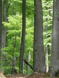 Beechen wood Stock Photos