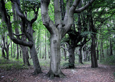 Beeches. Old beeches forest in Swinoujscie, Poland Stock Photography