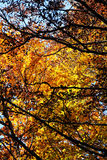 Beeches in autumn, the branches and the leaves. A foreshortened view of the foliage of some beeches, with the branches and the leaves, in autumn, madonie Stock Photos