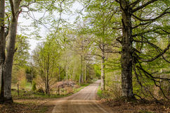Beeches by a dirt road. In early springtime. From the province Smaland in Sweden Stock Photography