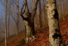 Beeches in fog Stock Photography