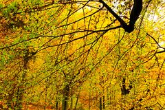 Beeches. Look up into the beeches, beech colored in yellow and green, beautiful autumn theme Stock Photo