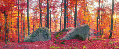 Beeches The Rocks Royalty Free Stock Images