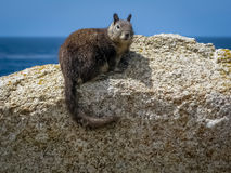 Beechey ground squirrel Stock Images