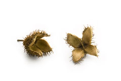 Beechnut seeds Royalty Free Stock Image