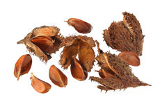 Beechnuts and husks Stock Images