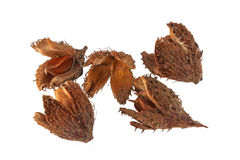 Beechnuts and husks Stock Image