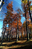 Beechtree forest. A high fagus forest from Tulisa Mountain. Hiking to the top of mountain on a beautifull fall day Stock Photography