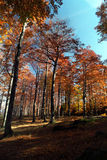 Beechtree forest in the fall. A high fagus forest from Tulisa Mountain. Hiking to the top of mountain on a beautifull autumn day Stock Photography