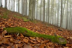 Beechwood. Autumn beechwood with fog in backcloth Royalty Free Stock Photography