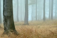 Beechwood. With fog in backcloth Royalty Free Stock Photo