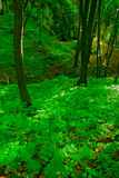 Beechwood forest. Stock Photography