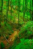 Beechwood forest. Stock Photo