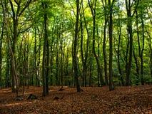 Beechwood las na pogodnym jesień dniu Fotografia Royalty Free