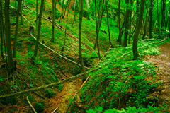 Beechwoodskog Arkivfoton