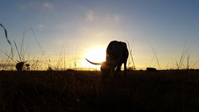 Beef agriculture cattle cow farming Texas Longhorn sunset / sunrise landscape stock video