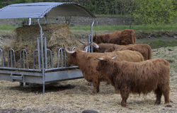 Beef breed cows Royalty Free Stock Photos