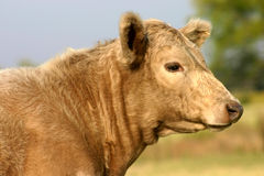 Beef Calf. Tan colored beef calf in pasture in late afternoon light, trees and sky in background Royalty Free Stock Photography