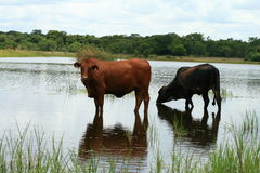 Beef Cattle Stock Photos