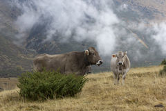 Beef cattle Royalty Free Stock Photos