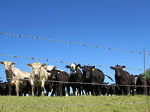 Beef Cattle Watching Behind Barbed Wire, Blue Sky stock photography