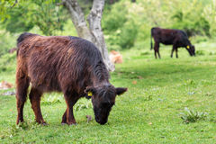 Beef cattle calves. Stock Image