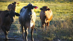 Beef cattle close up stock footage