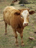 Beef cattle farming Stock Images