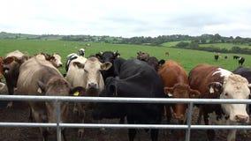 Beef cattle feeding in a field