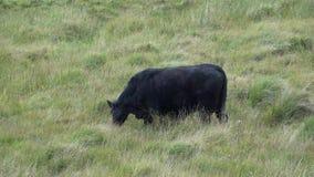Beef cattle feeding in a field stock video footage
