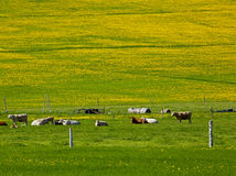 Beef Cattle Field Dandelions Royalty Free Stock Images