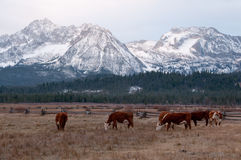 Beef Cattle in front of Mountains. Beef Cattle in front of the Sawtooth Mountains in Stanley, Idaho Royalty Free Stock Photos