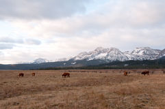Beef Cattle in front of Mountains. Beef Cattle in front of the Sawtooth Mountains in Stanley, Idaho Stock Photos